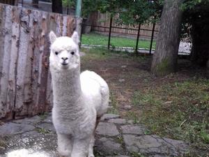 Альпака из нижегородского зоопарка переехала в Пермь