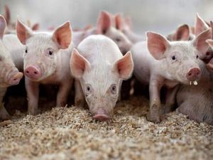 22 свиньи утилизировали в Вадском районе из-за АЧС