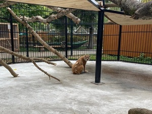 23-летняя рысь переехала в балахнинский зоопарк из «Мишутки»