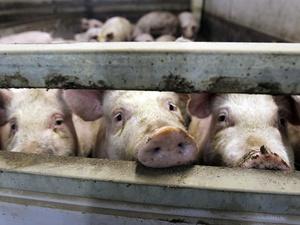 Вспышка африканской чумы свиней зафиксирована в Вачском районе