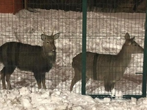 Сбежавшего оленя отлавливали в Нижнем Новгороде шесть часов