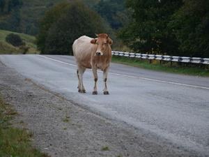 Корова сбила велосипедистку в Нижегородской области