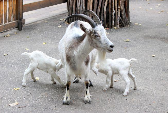 Белые козлята появились на свет в нижегородском зоопарке - фото 4