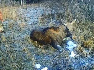 Молодую лосиху дважды спасли после провалов под лед в Городецком районе