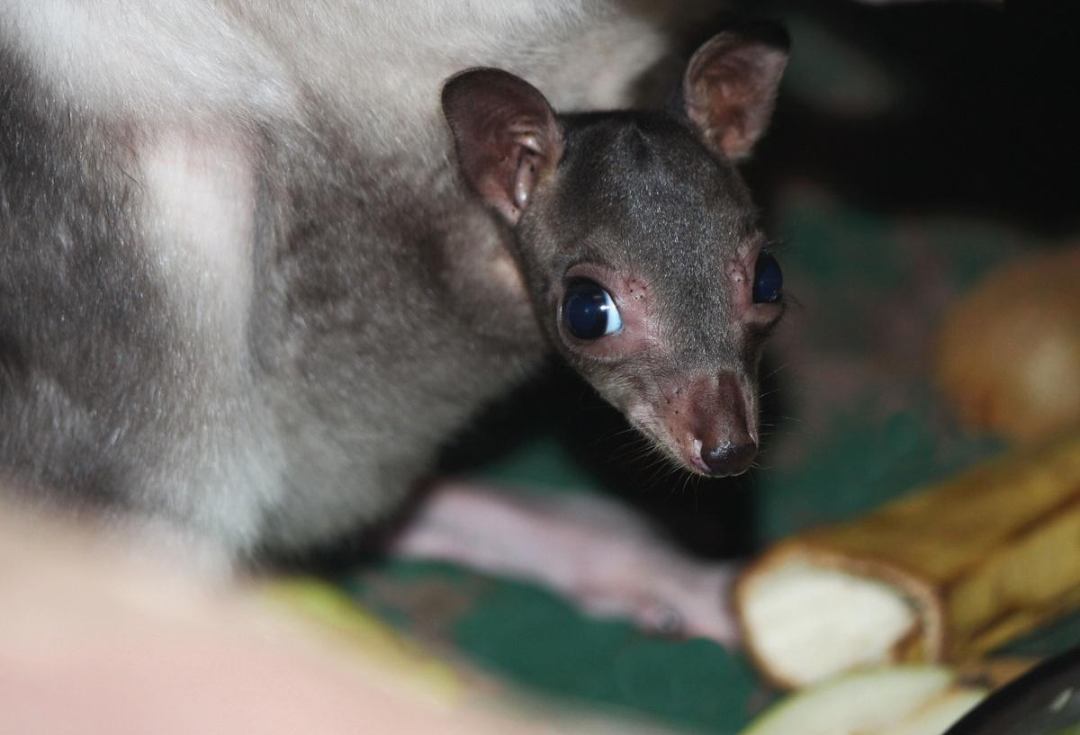 У редких кенгуру из зоопарка «Лимпопо» родился детеныш - фото 1